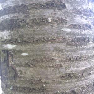 Fugle-Kirsebær stamme